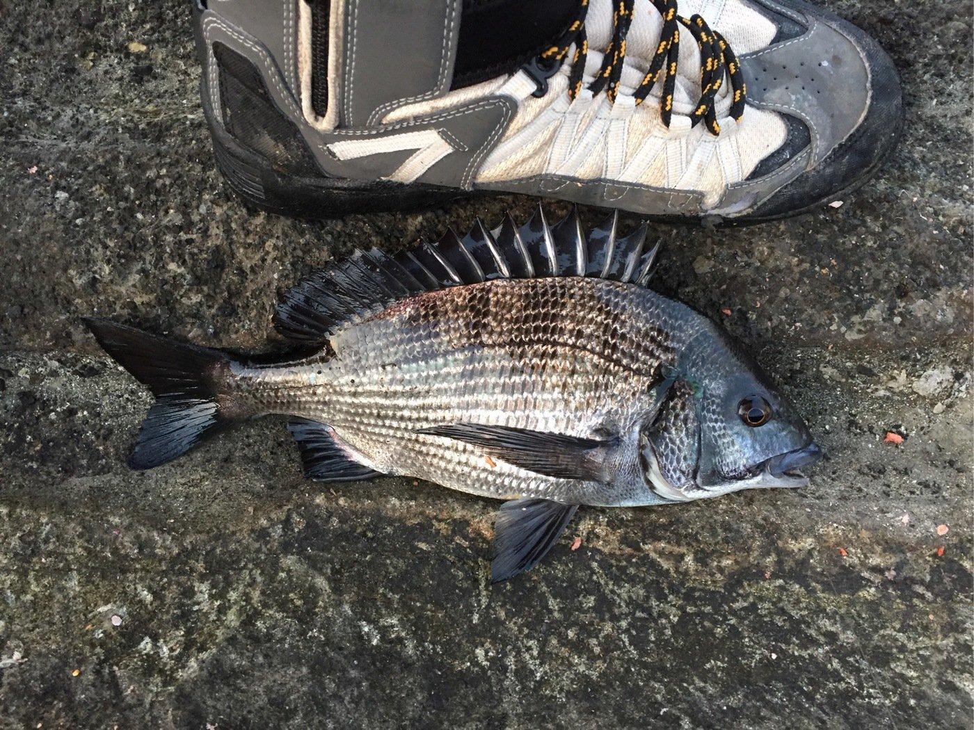 釣りバカダンナさんの投稿画像,写っている魚はクロダイ