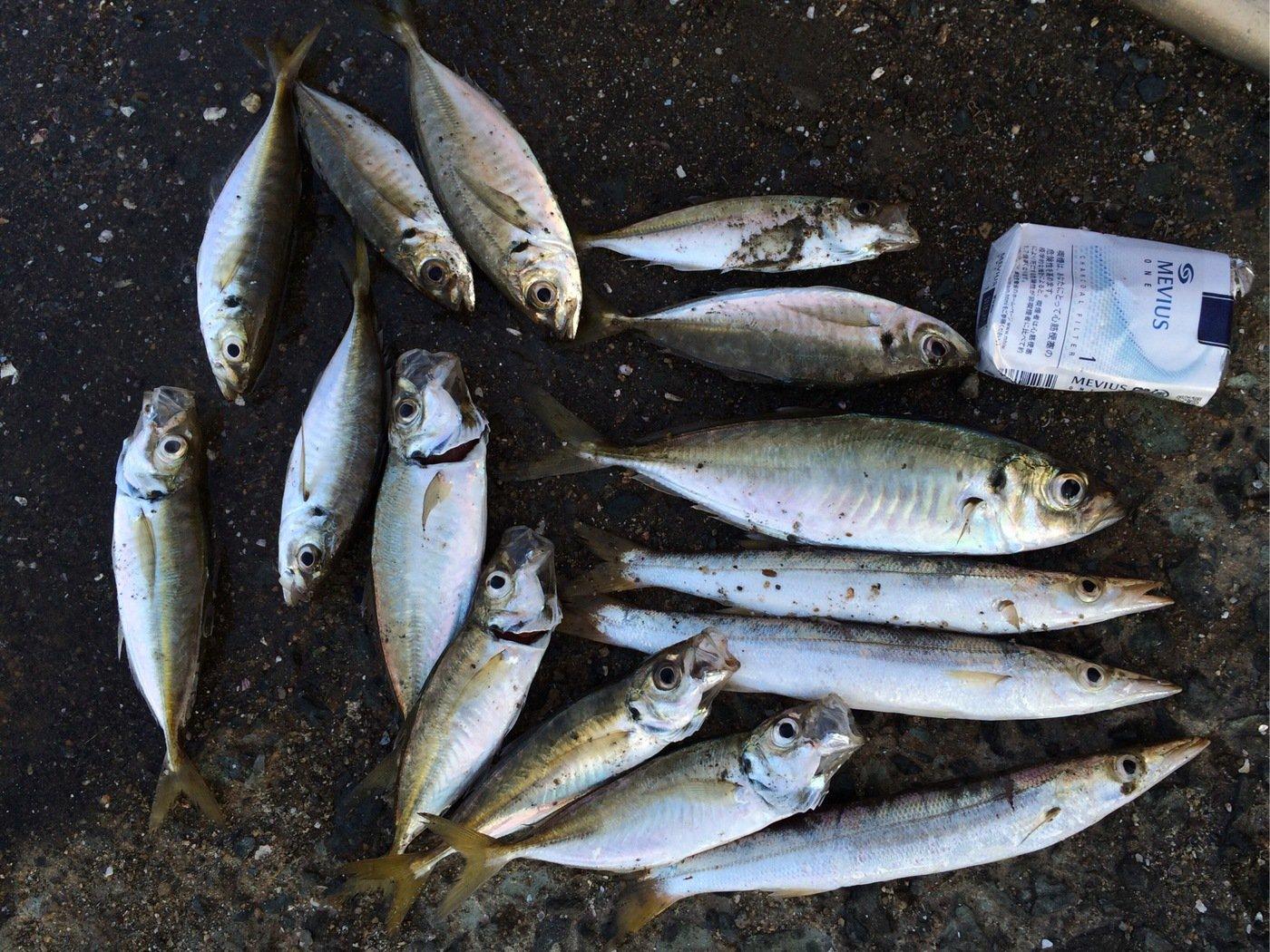 くましんさんの投稿画像,写っている魚はアジ
