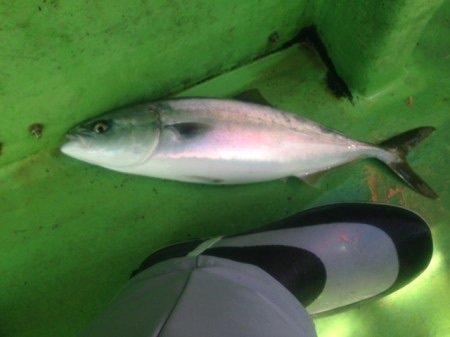 すずけんさんの投稿画像,写っている魚はブリ