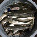 つーさんさんの北海道夕張郡での釣果写真