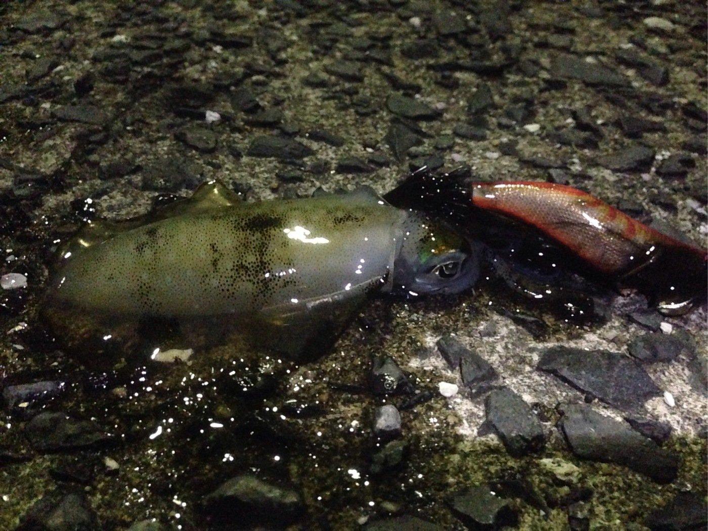 I'm charging...さんの投稿画像,写っている魚はアオリイカ
