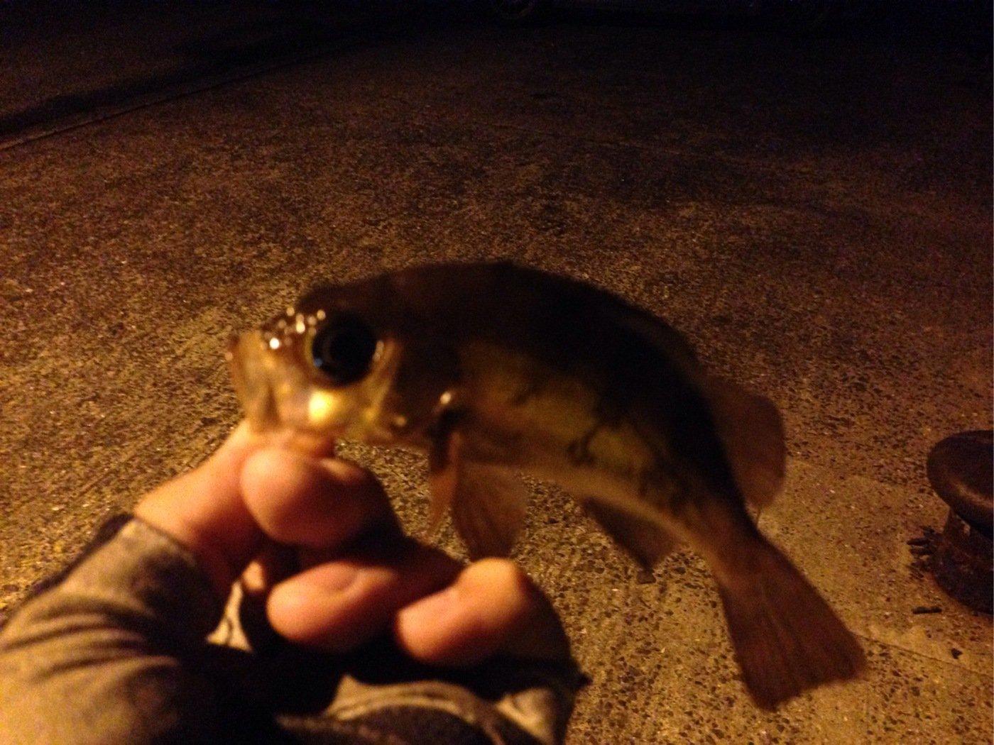 I'm charging...さんの投稿画像,写っている魚はメバル