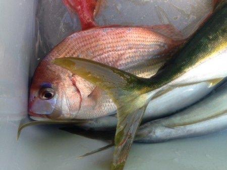 すずけんさんの投稿画像,写っている魚はチダイ