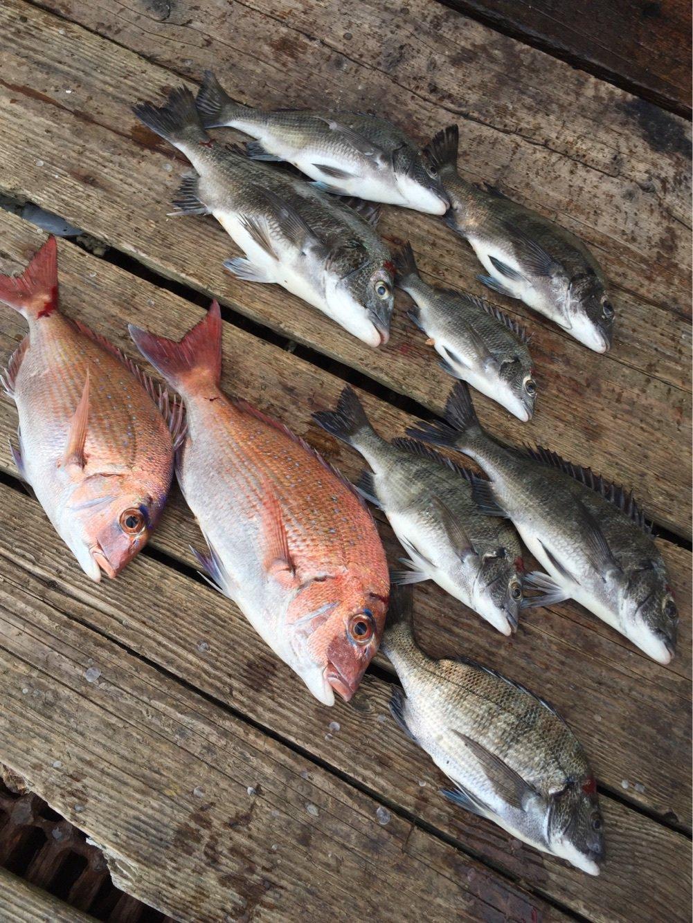 チヌの知さんの投稿画像,写っている魚はクロダイ