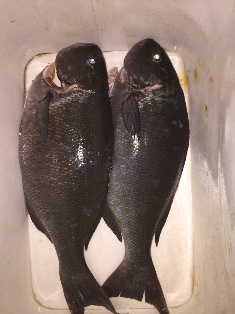 べーさんの投稿画像,写っている魚はメジナ