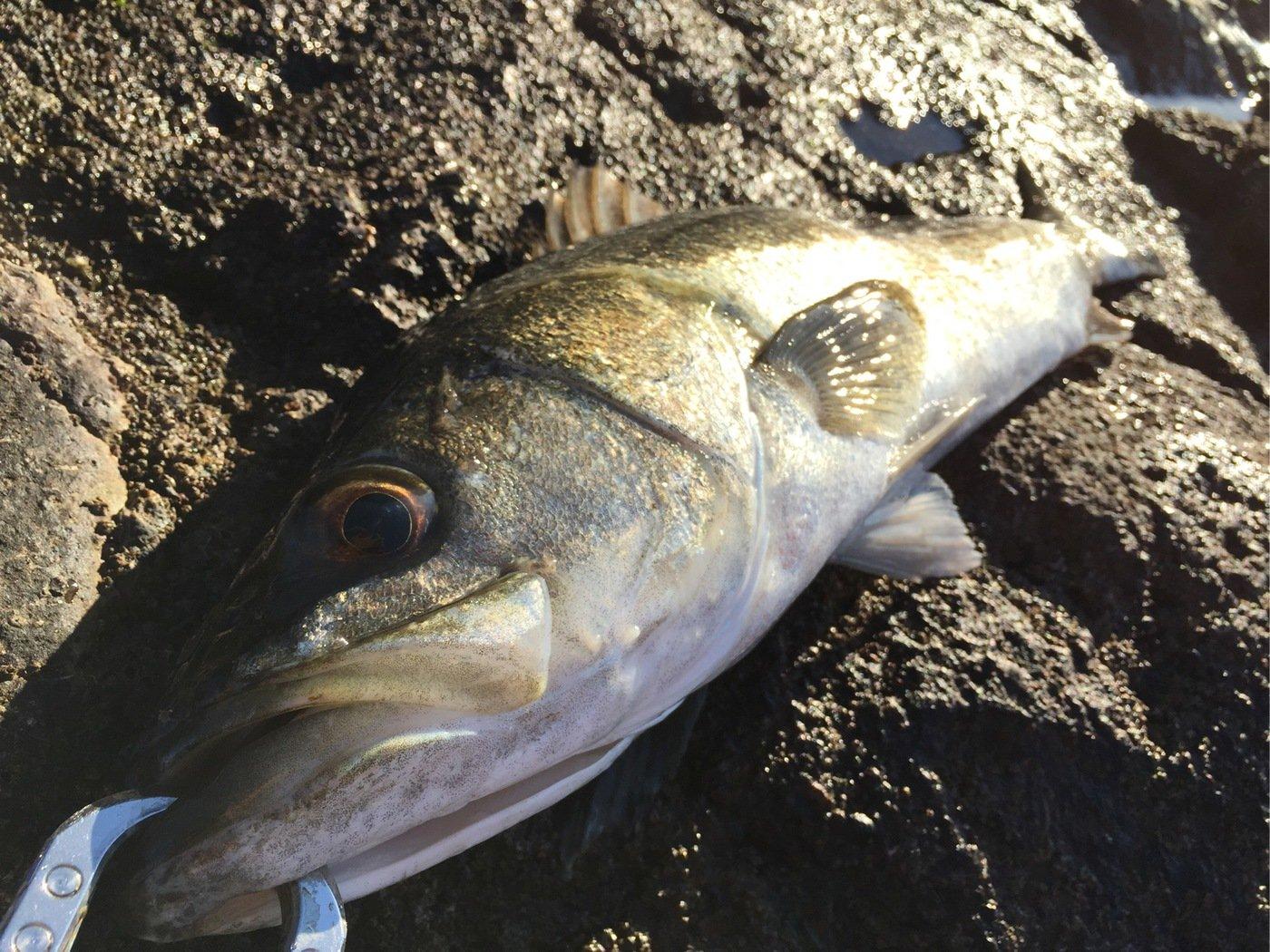 taketonbowさんの投稿画像,写っている魚はスズキ