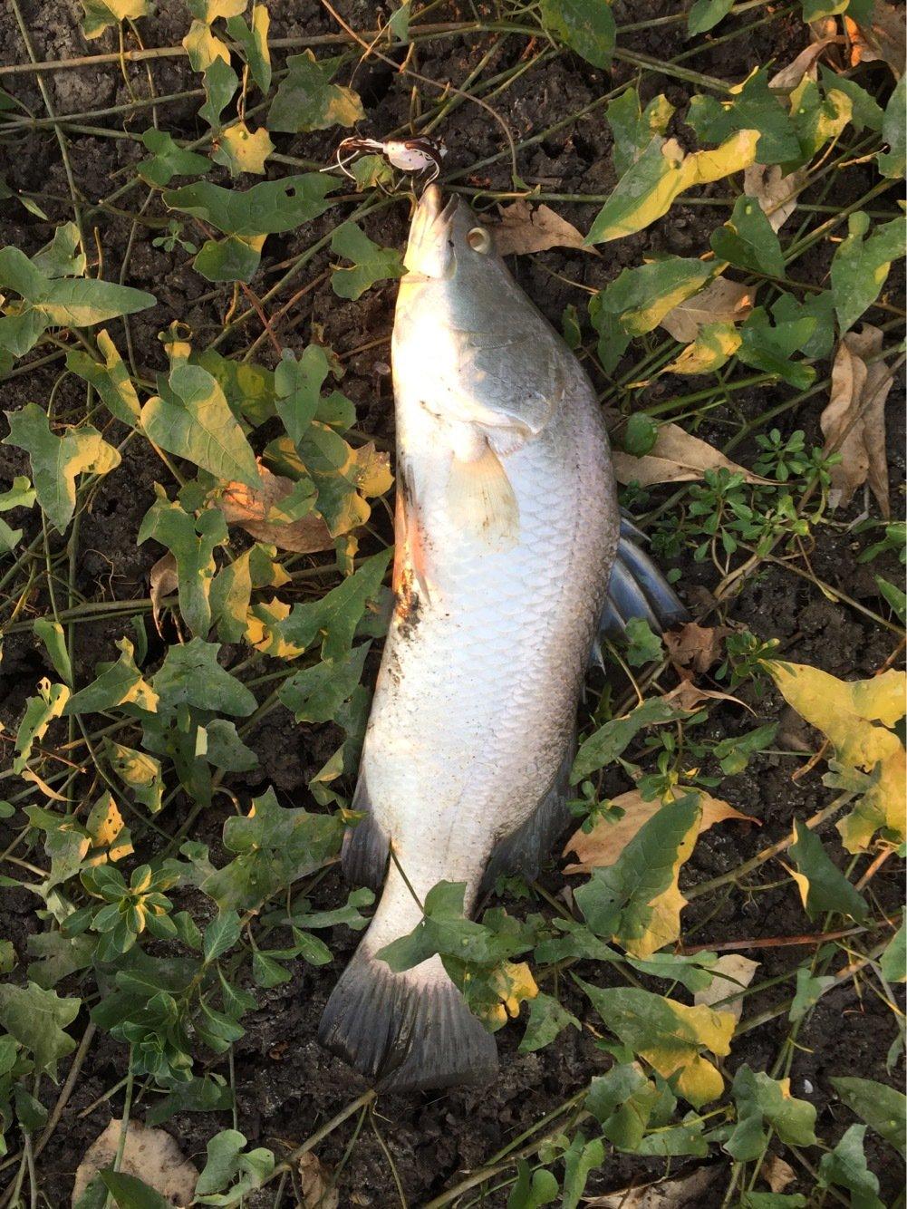 Walterさんの投稿画像,写っている魚はアカメ