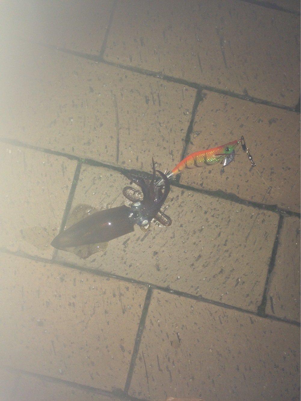 co21(コニー)さんの投稿画像,写っている魚はジンドウイカ