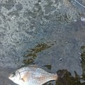 サトシさんの千葉県でのウミタナゴの釣果写真