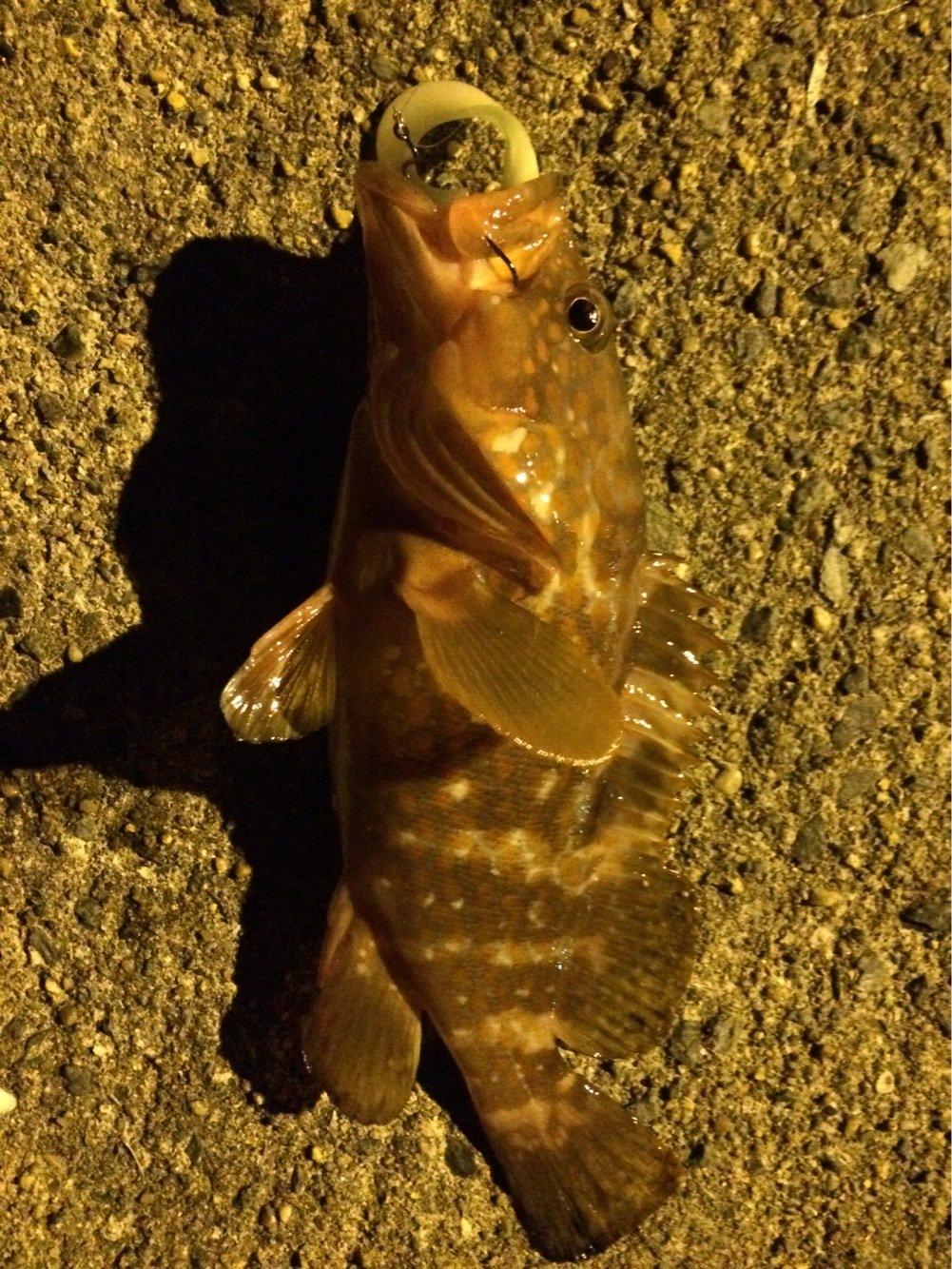 ひろさんの投稿画像,写っている魚はキジハタ
