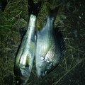 有頂天一号さんの愛知県知多市でのクロダイの釣果写真