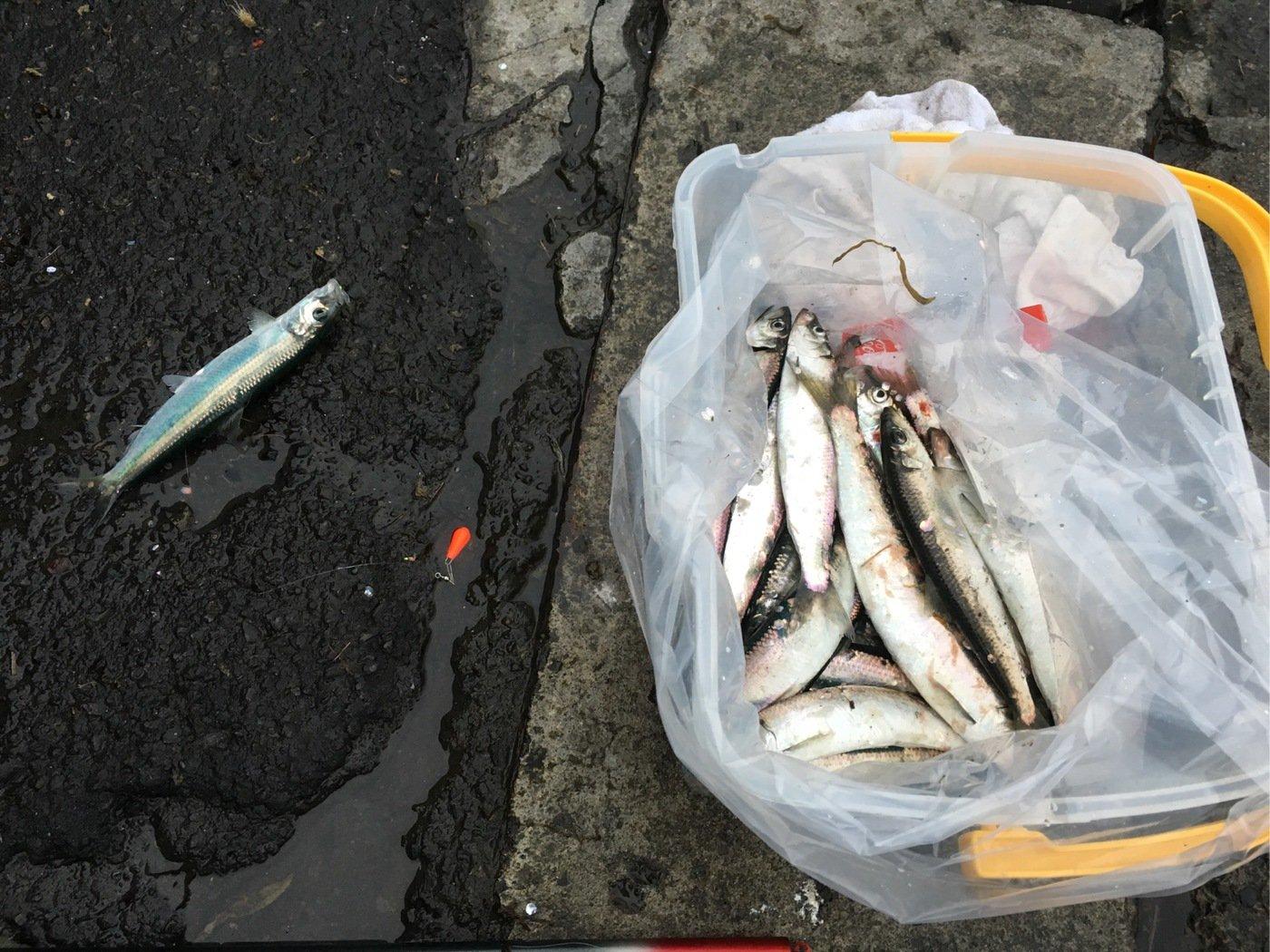 Kuniさんの投稿画像,写っている魚はニシン