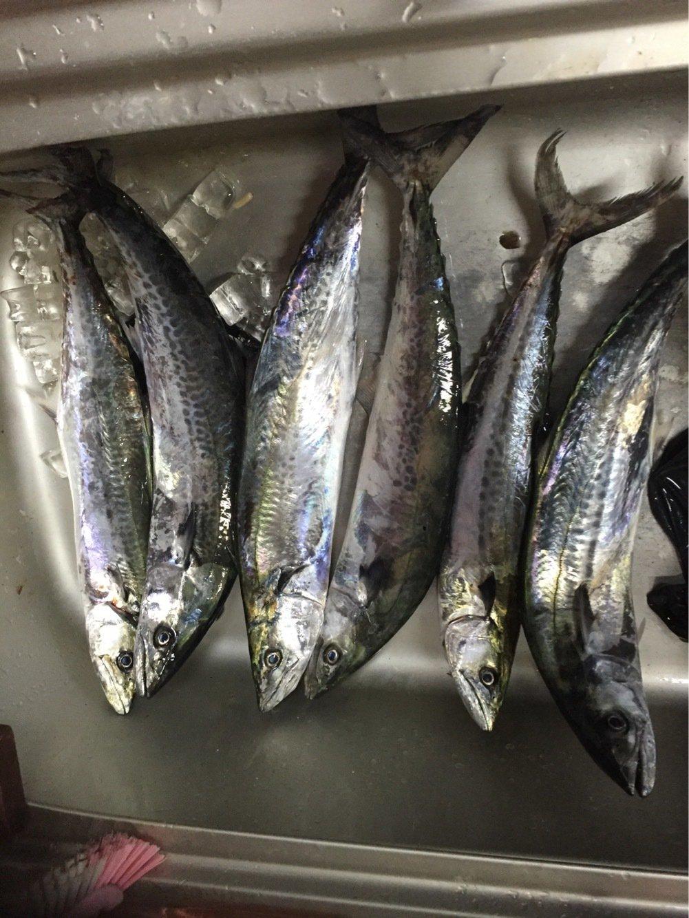 かず坊さんの投稿画像,写っている魚はサワラ