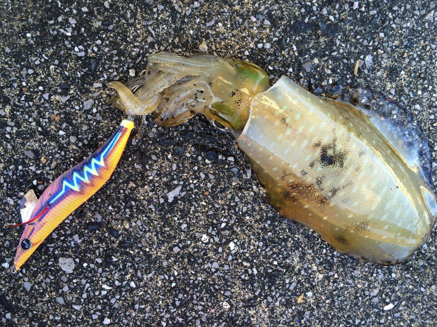 かみーゆさんの投稿画像,写っている魚はアオリイカ