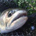 ヤッシーさんの山梨県大月市での釣果写真