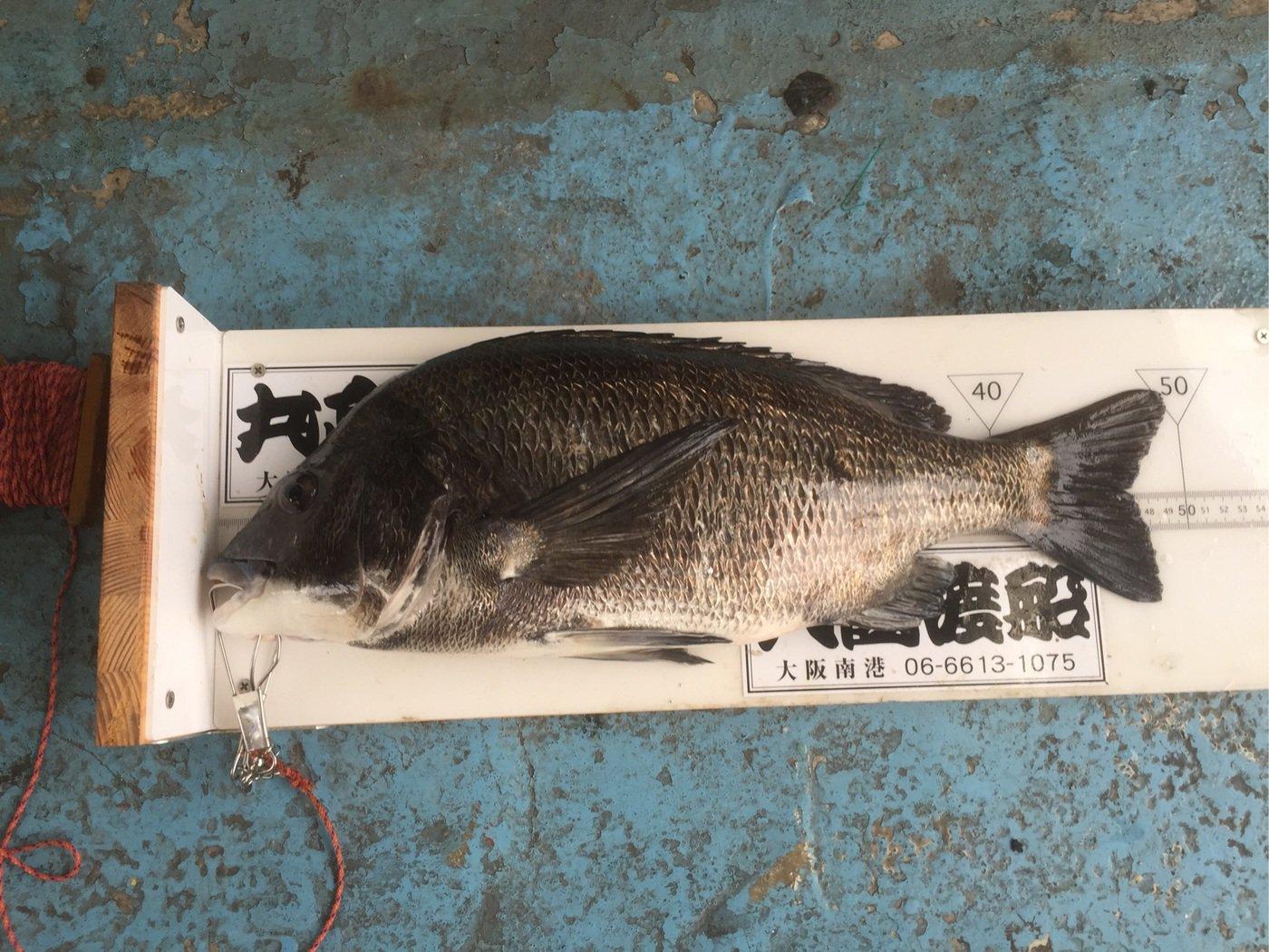カレー好きチヌ師さんの投稿画像,写っている魚はクロダイ