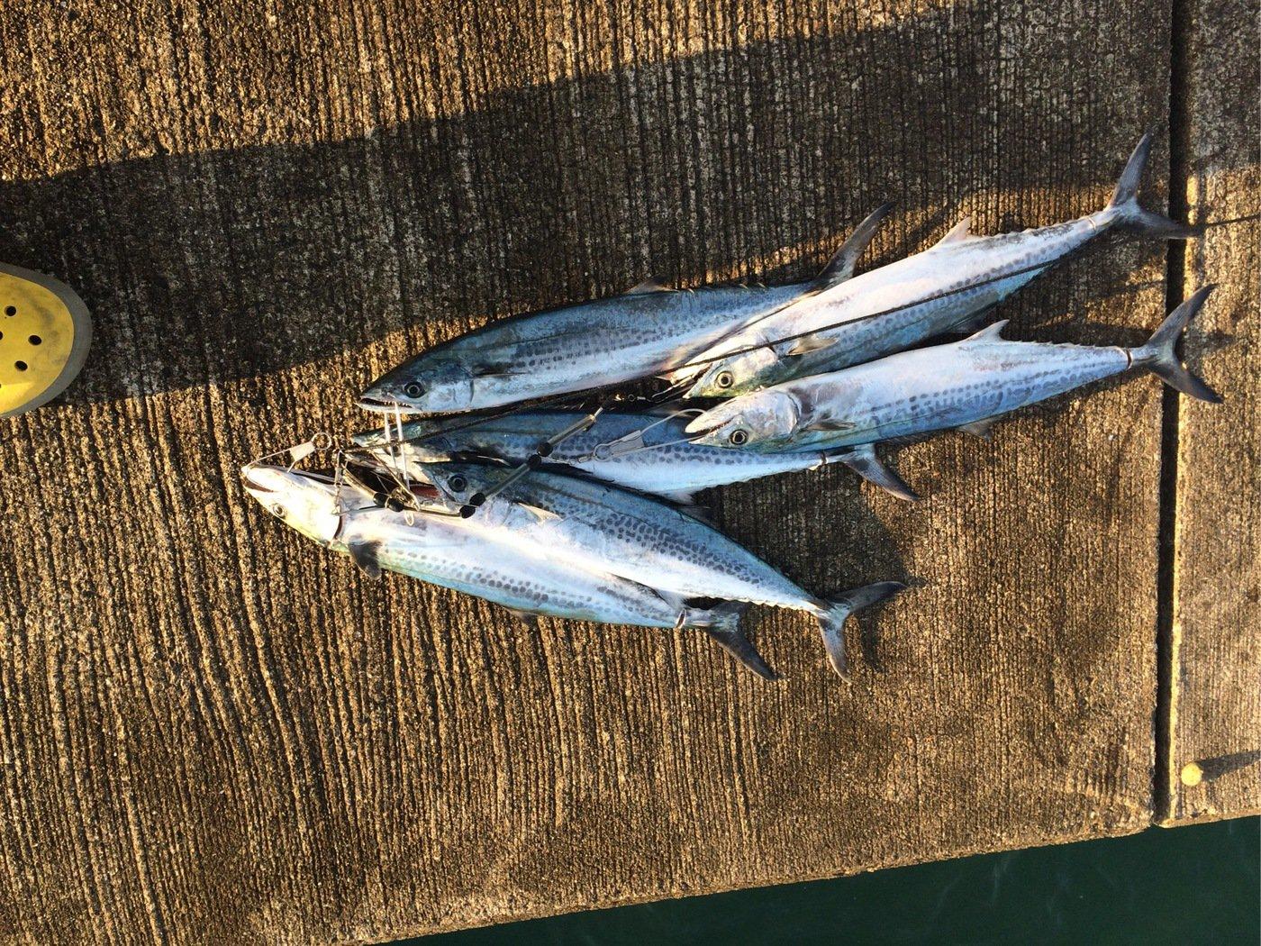ともたろうさんの投稿画像,写っている魚はサワラ