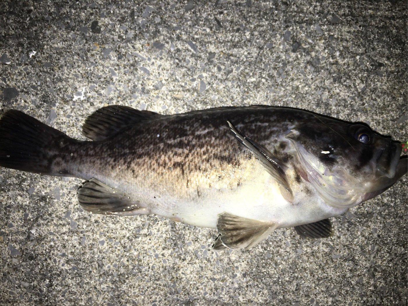 0138STYLEさんの投稿画像,写っている魚はクロソイ