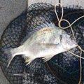 たさんの和歌山県紀の川市での釣果写真