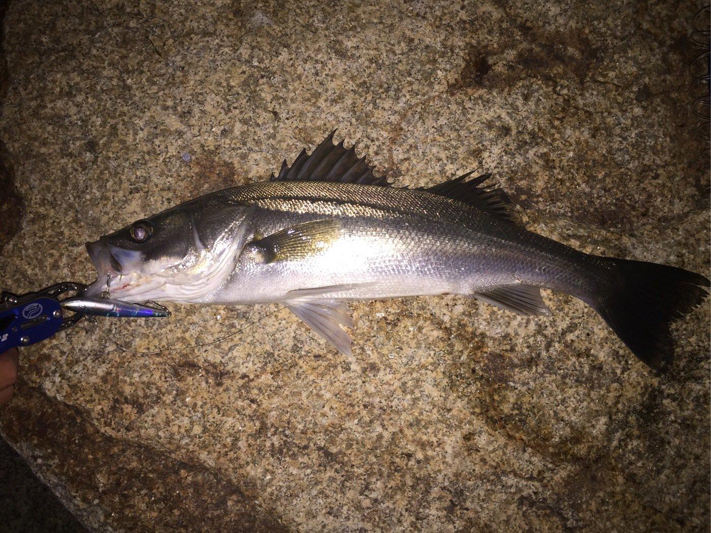 よっぴーさんの投稿画像,写っている魚はスズキ