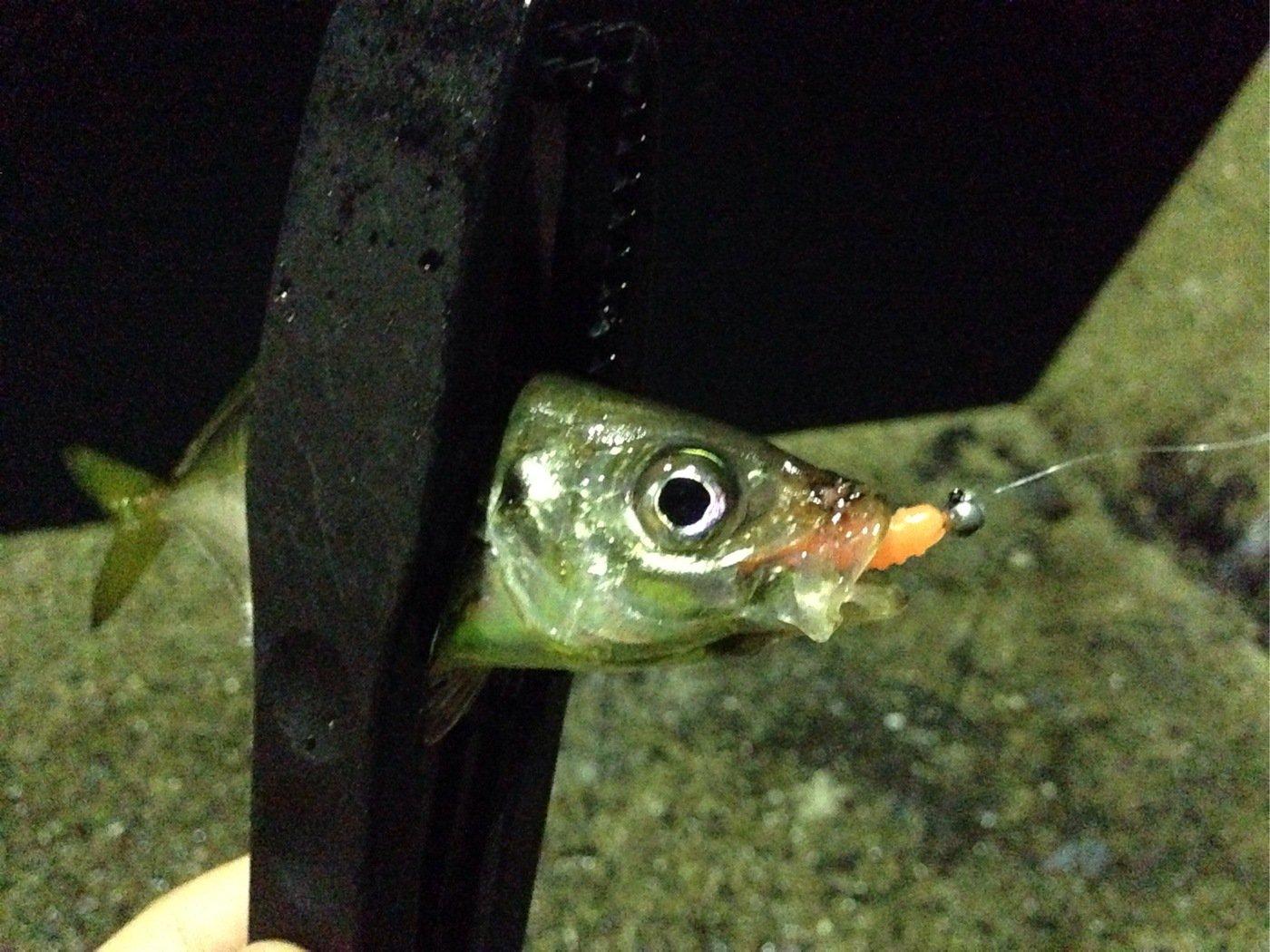 I'm charging...さんの投稿画像,写っている魚はアジ