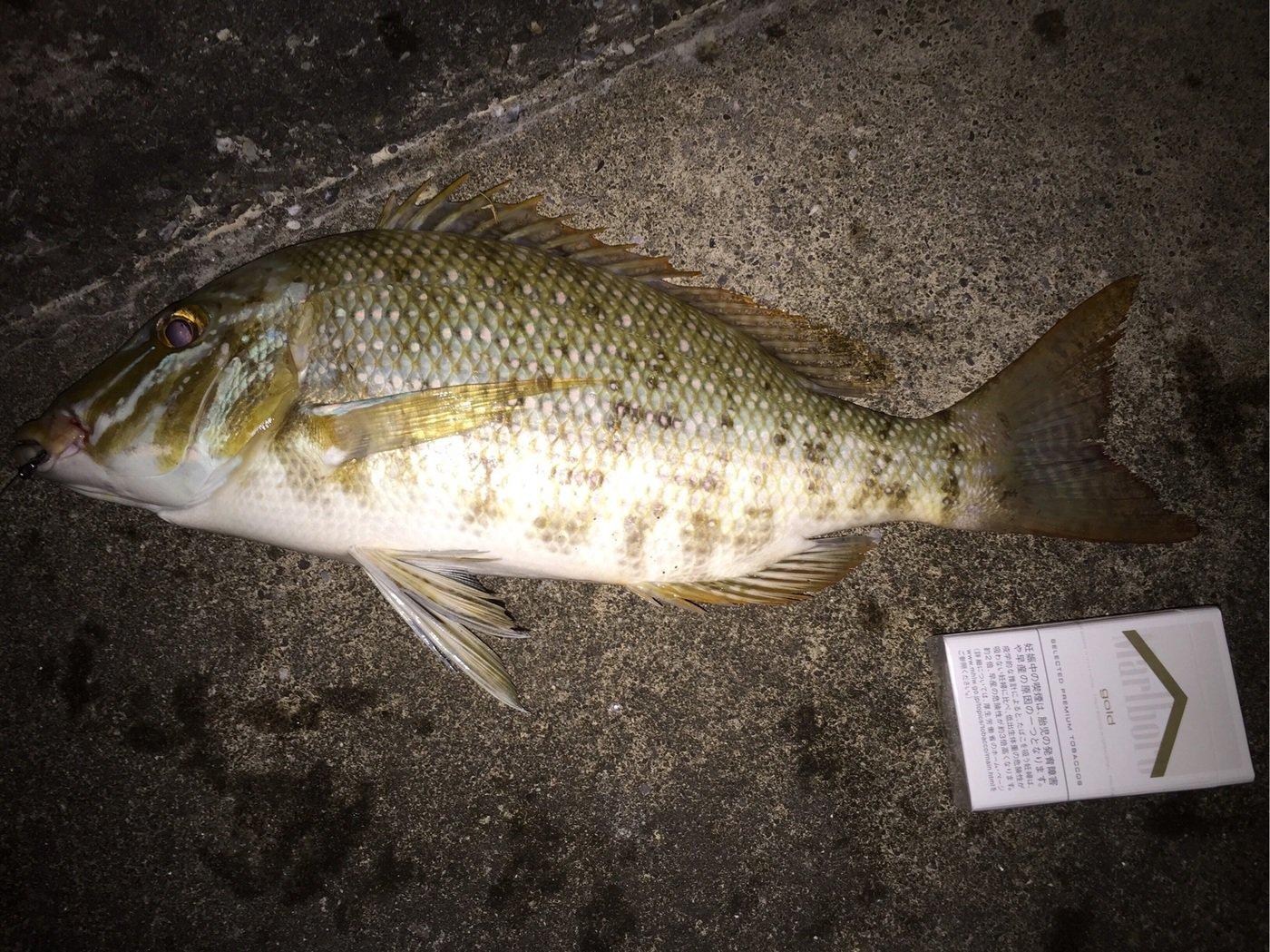 コータさんの投稿画像,写っている魚はハマフエフキダイ
