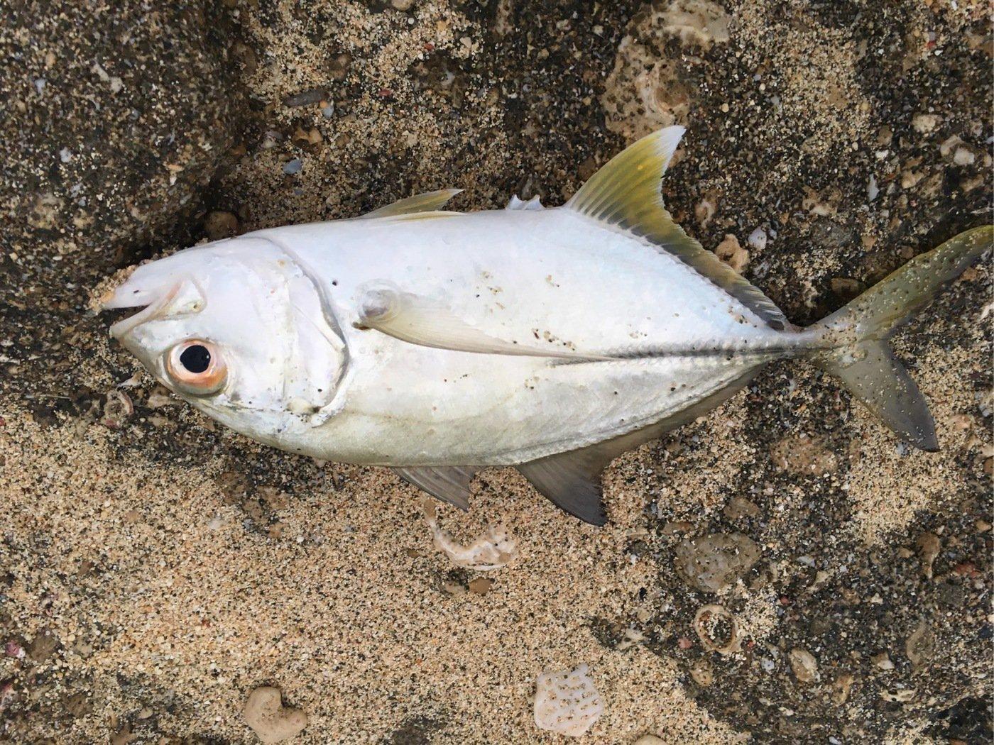 大五郎さんの投稿画像,写っている魚はギンガメアジ