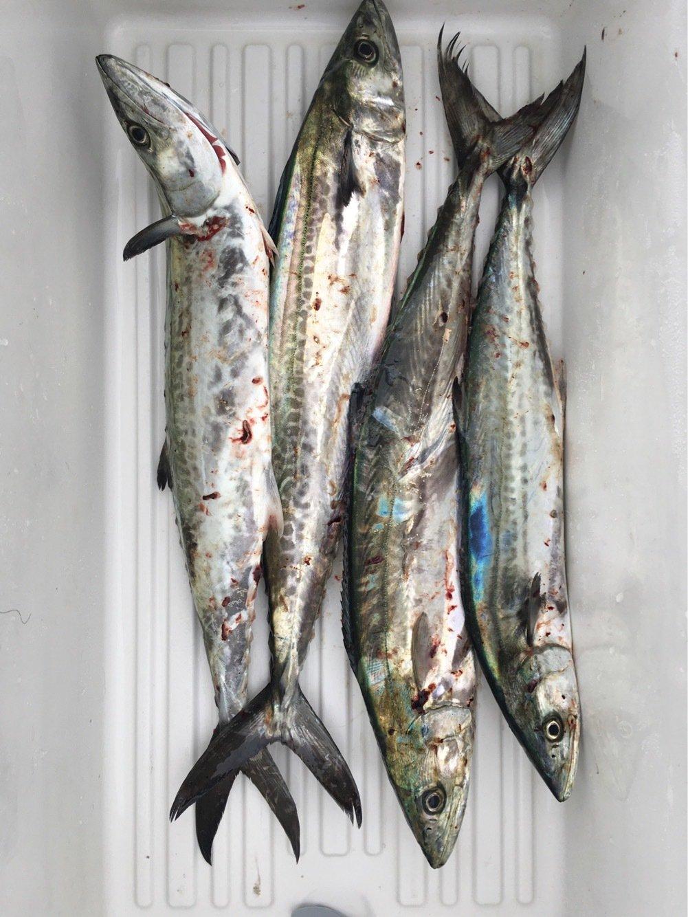 ask11さんの投稿画像,写っている魚はサワラ
