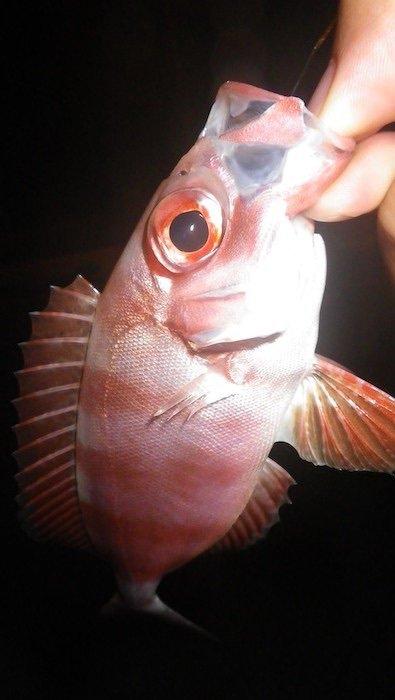 スズキリさんの投稿画像,写っている魚は