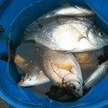 ツルツルさんの神奈川県でのウミタナゴの釣果写真