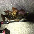 えいとさんの兵庫県南あわじ市でのカサゴの釣果写真