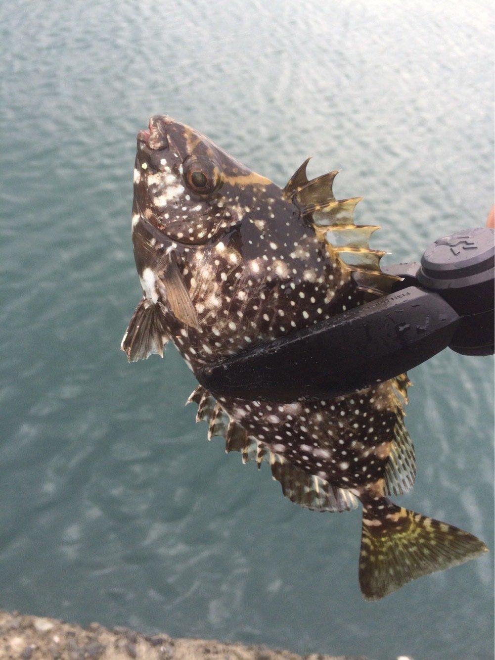 Masato Miyoshi さんの投稿画像,写っている魚はアイゴ