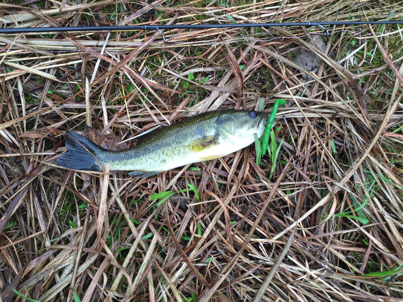 釣りキチさんの投稿画像,写っている魚はブラックバス