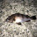 exit_fishingさんの兵庫県尼崎市でのメバルの釣果写真