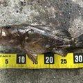 なにいろさんの兵庫県尼崎市でのタケノコメバルの釣果写真