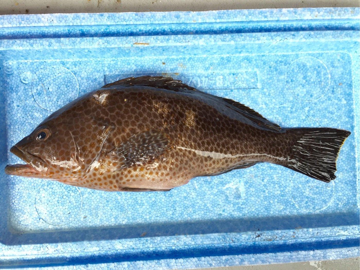 trakさんの投稿画像,写っている魚はオオモンハタ