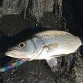 Ryutoさんの長崎県壱岐市でのヒラスズキの釣果写真