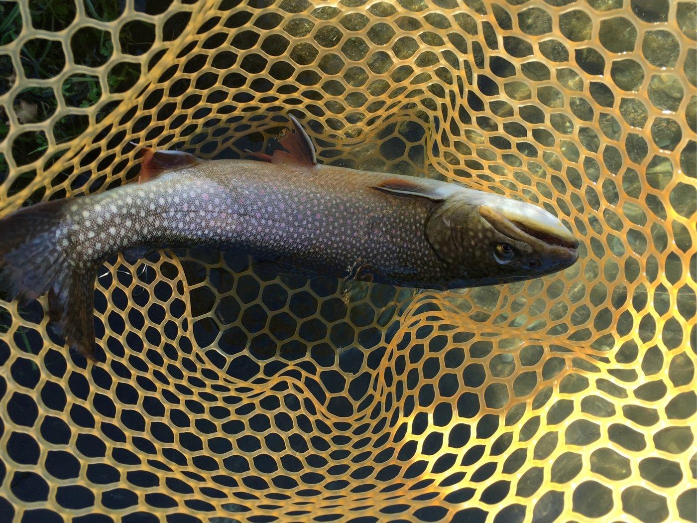 釣りキチ一平さんの投稿画像,写っている魚はイワナ