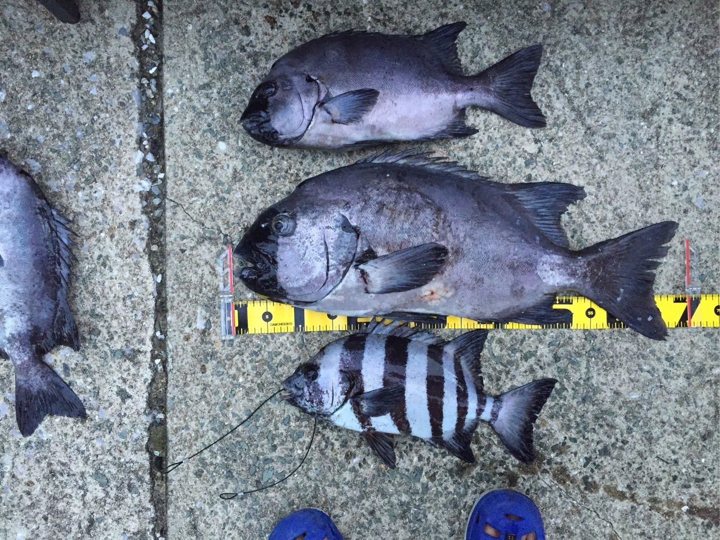 べーさんの投稿画像,写っている魚はイシダイ