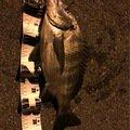 近藤さんの愛知県知多市でのクロダイの釣果写真
