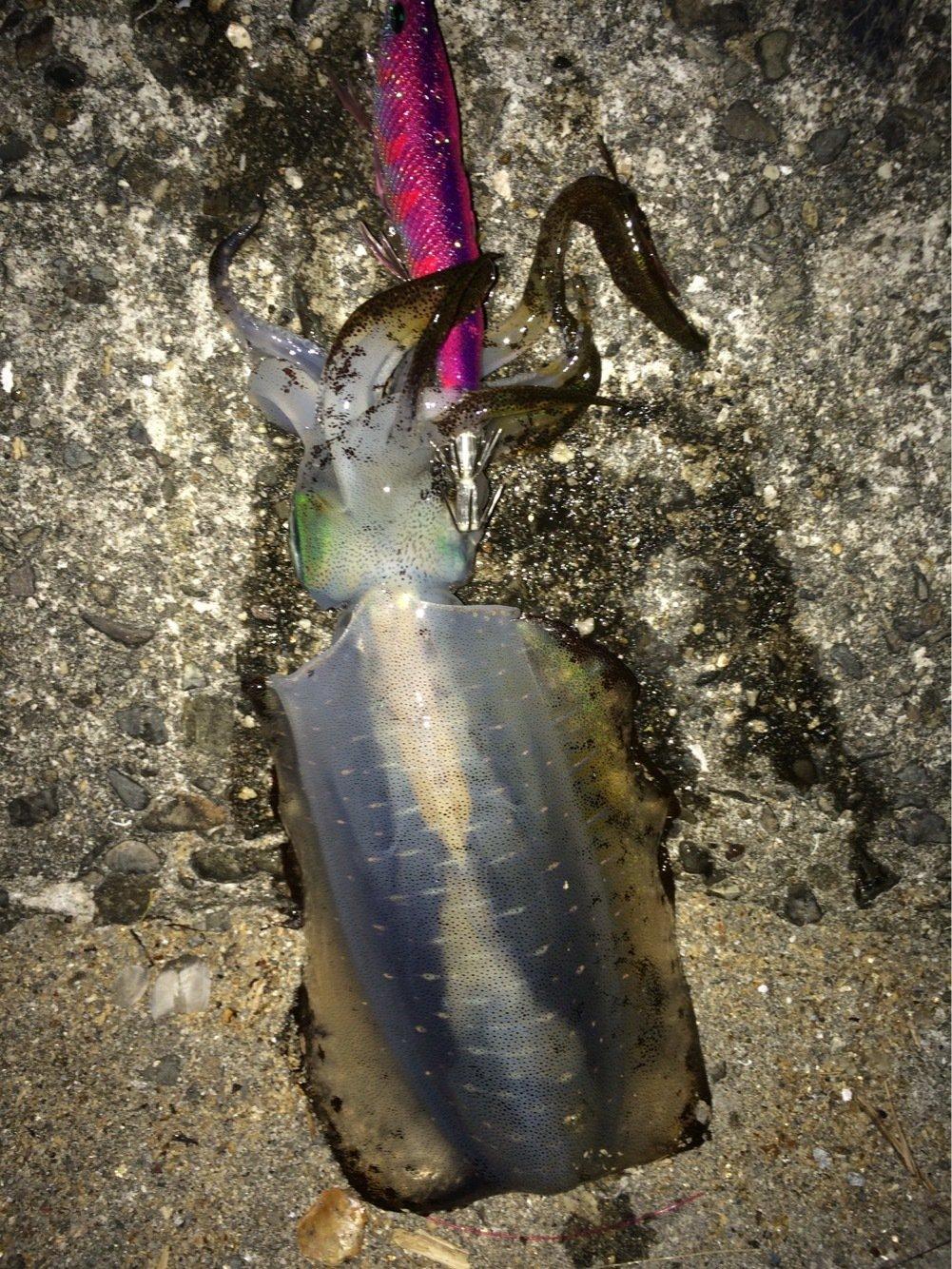 たっちゃんさんの投稿画像,写っている魚はアオリイカ
