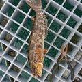 きむたさんの愛知県知多郡でのアイナメの釣果写真