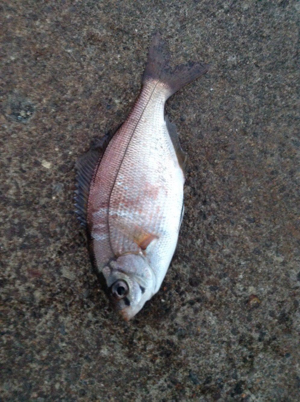ぴかっとさんの投稿画像,写っている魚はウミタナゴ