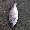 ぴかっとさんの神奈川県でのウミタナゴの釣果写真