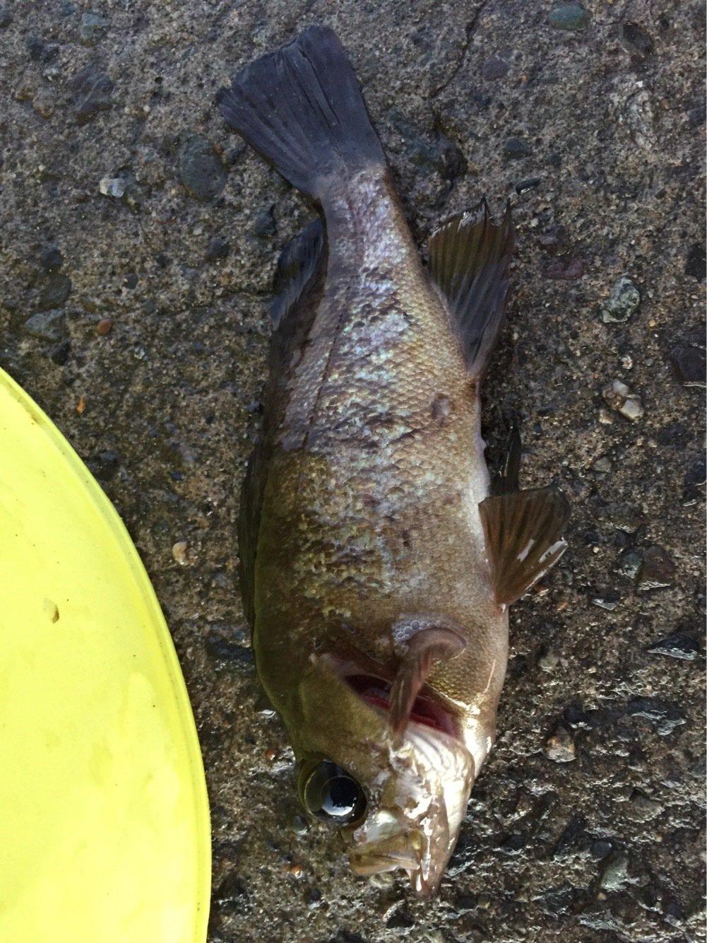 和田さんの投稿画像,写っている魚はメバル