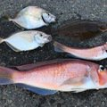 D.Mさんの静岡県熱海市でのアマダイの釣果写真