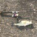 いち@海鳴さんの福岡県八女市での釣果写真