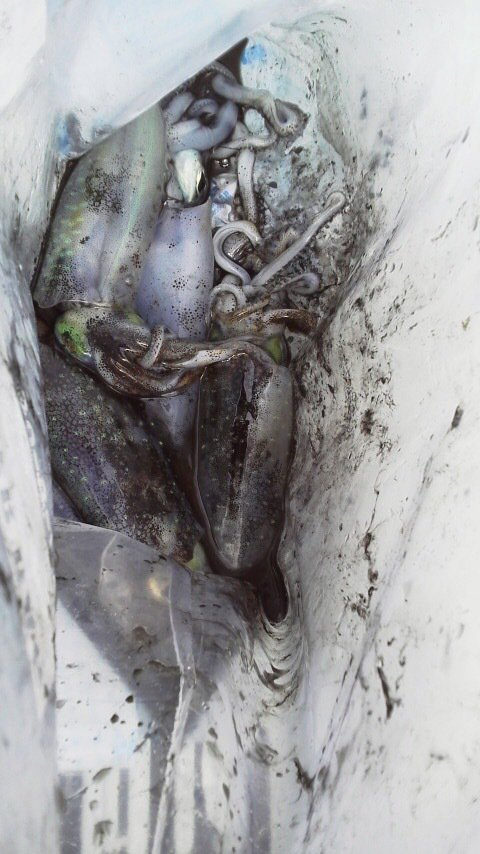 時次郎さんの投稿画像,写っている魚はアオリイカ