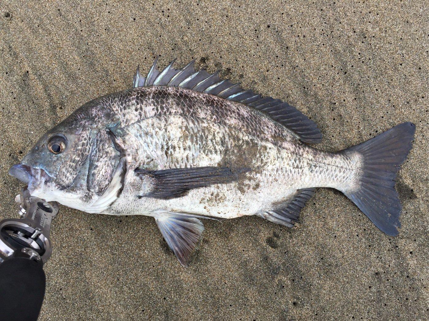 よっきさんの投稿画像,写っている魚はクロダイ