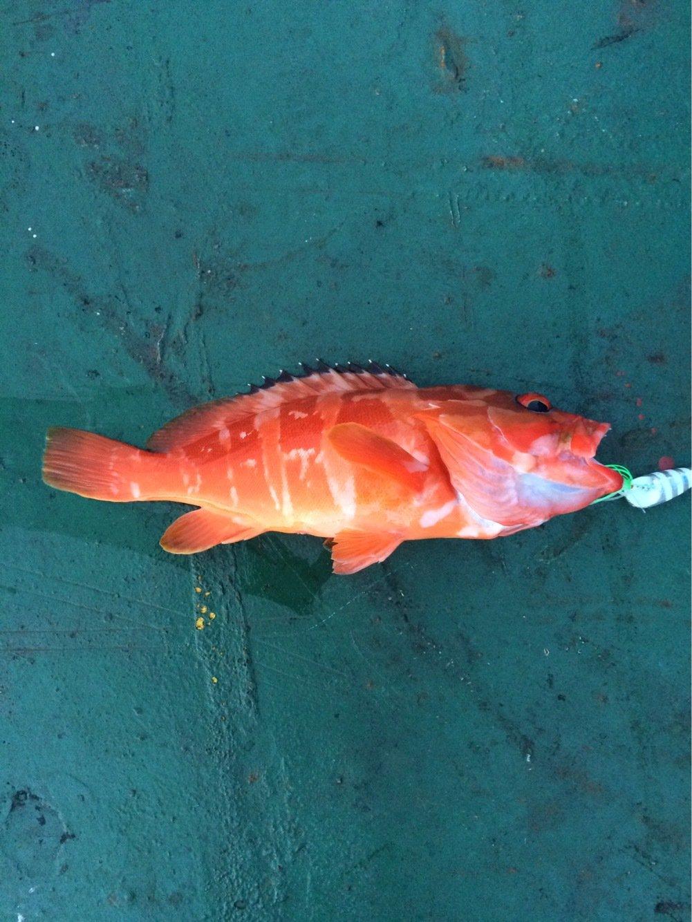 Kennyさんの投稿画像,写っている魚はアカハタ